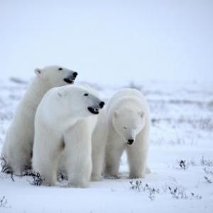 Famille d'ours polaire dans la toundra