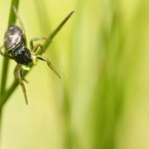 Heliophanus cupreus femelle
