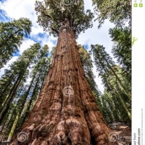 """Le """"général Sherman"""" est l'arbre le plus grand du monde. 84 mètres. Les branches les plus basses à 40 mètres."""