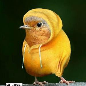 Canari en gilet jaune.