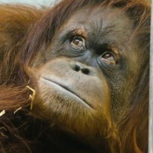 premiers orangs-outans  a Pairi Daiza