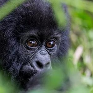 """Citadelle : """"Primates et Gorilles des Montagnes"""" (c) Vincent Gesser"""