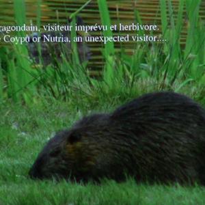 """Le ragondain visiteur imprévu et herbivore, """"Giving Nature a Home"""" dernier film de Marcel Thonnon"""