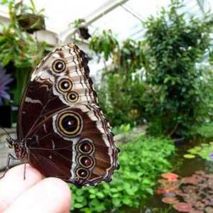 Festival de papillons bleus au jardin botanique national de Belgique