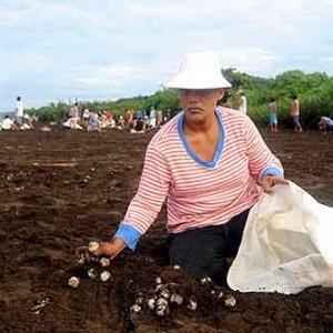 Extinction de la tortue de mer au COSTA RICA-31
