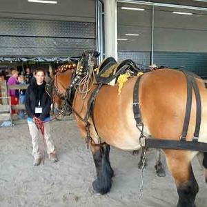 cheval de trait ardennais - 611