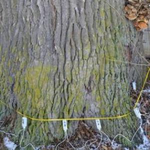 Baum-expert