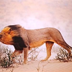 Chris Johns   Lion   Afrique du Sud   2001