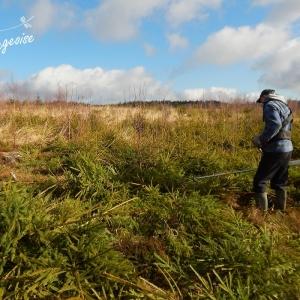 Elimination de résineux dans les fagnes de la Vecquée