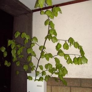 Branche de hêtre