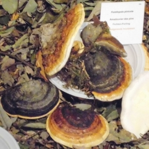 Waimes / Botrange               Journée mycologique au Centre nature
