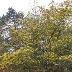Floraison du mimosas