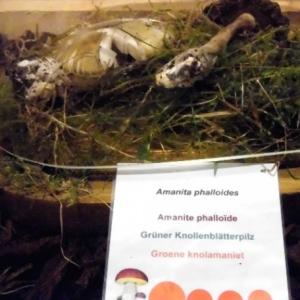 Amanite Phalloide ( sous cloche )