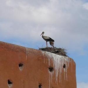 Cigognes etablies au Maroc