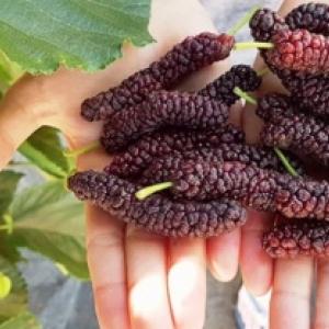 GIANT PAKISTAN Murier a grands fruits