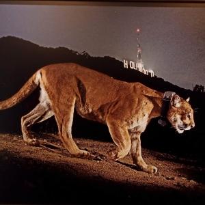Steve Winter   Un puma mâle, capté par une caméra cachée, à Los Angeles   États-Unis   2013