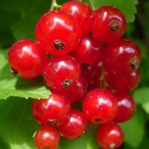 Distribution d'arbustes fruitiers