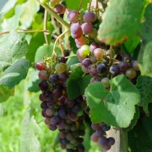 Vignes de Torgny