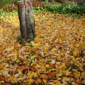 Tapis de feuilles: plus qu'a ratisser...