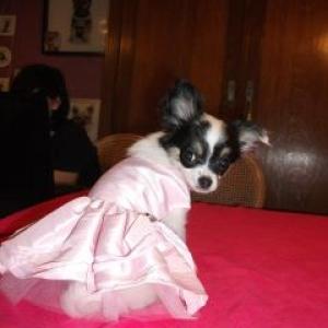 Lexie ,la petite chihuahua de veronique