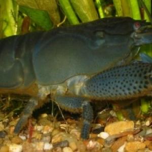 Crevette Gabon Nettoyeuse - Atyopsis Gabonensis  15 euros