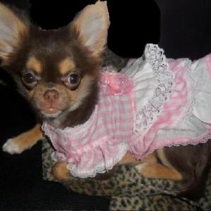 Lolita ,un des petits chihuahua de Nathalie de Ougree