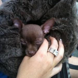 Pepito  le petit chihuahua de Madisson Bouchat de Verviers