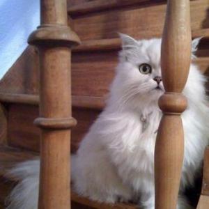 Meggie notre chat persan partie rejoindre sa soeur chanel