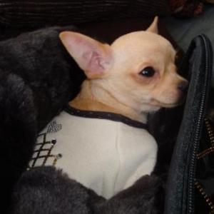irta en louisdog et son sac puppia