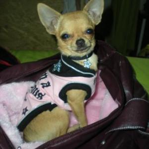Lola ,le chihuahua de Gwenaelle de Quaregnon