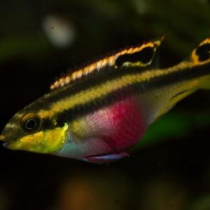 Pelvicachromis Pulcher  7,50 euros