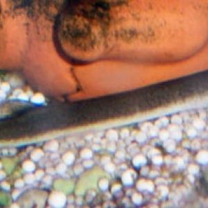 Loche de fond - Acanthophthalmus Kuhli Neon  5 euros