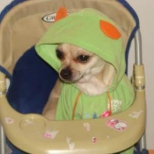 Laika ,le petit chihuahua de virginie
