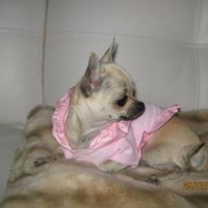Chanel ,le petit chihuahua de iolanda Signiorello