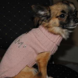 Kimberley ,le petit chihuahua de Leroy Angelique