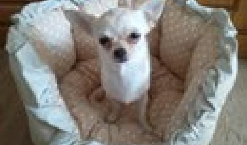 Juicy ,le chihuahua de Nathalie de Bruxelles , notre gagnante du mois d'avril