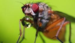 Une mouche repue qui regurgite un peu de miel.