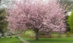 Houffalize Minigolf   Le cerisier du Japon en fleur