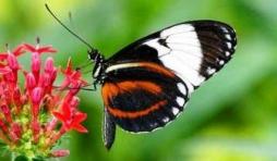Voici un papillon echappe de la collection photographique de Donny Livet qui exposait tout dernierement a l Office du tourisme de Stoumont. Couleurs et grace