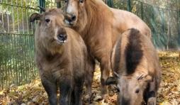 Naissance à Pairi Daiza de deux takins dorés de Chine.