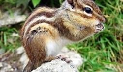 1 L'écureuil de Corée