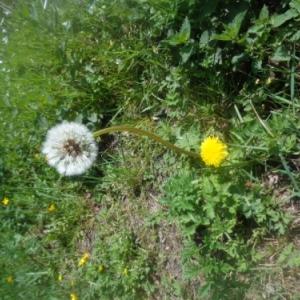 Pissenlits, Pierreuse, 11.05.2017 Saint Mamert