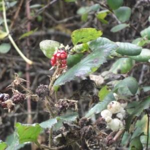De nombreux arbustes typiquement ardennais flanquent la Promenade. 04.10.17.