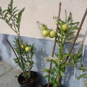 13. Tomates en pot
