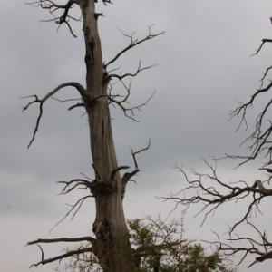 arbre foudroye en 1815