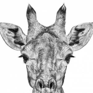 """Conference : """"Twiga"""" (girafe, en swahili), par (c) Florence Dabenoc"""