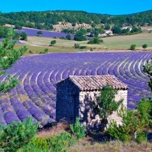 La beaute des champs de lavande, en Provence (c) Daniel Drion