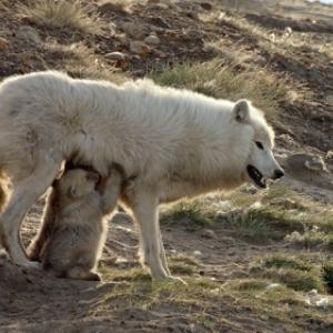 """Loups Blancs- Fantomes de l Artique"" (c) Olivier Goetzl"