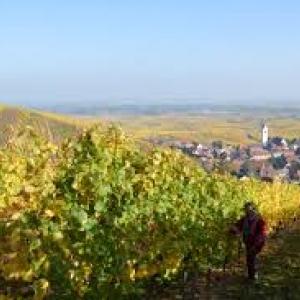"""A Katzenthal, en Alsace le (c) """"Domaine Rene Meyer"""""""