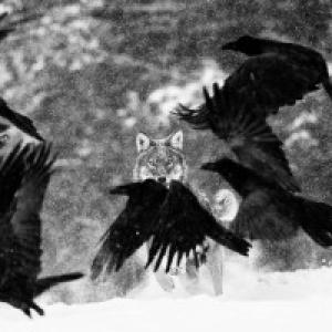 "Jambes : ""Wolf Attack"", ""Grand-Prix"" 2018 du ""Concours International de Photos Nature de Namur"" (c) Martin Steenhaut"